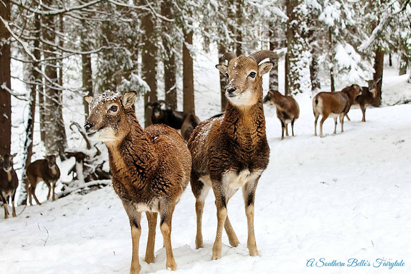Here a flock of Mouflon are in the snow nibbling on pieces of bread. A male and female can be seen standing side by side waiting for some more bread. Photo by Alexis Tucker.