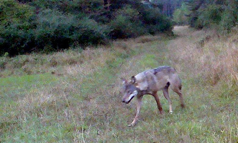 Photo of a wolf in the Grafenwoehr Training Area courtesy of the Federal Forestry Office in Grafenwoehr.